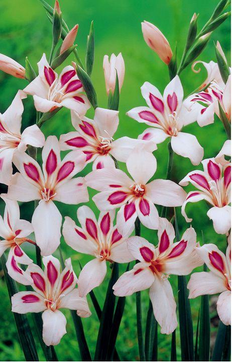 ~~Gladioli Corms - Elvira Gladiolus ~ unusual flower spikes | Dobies~~