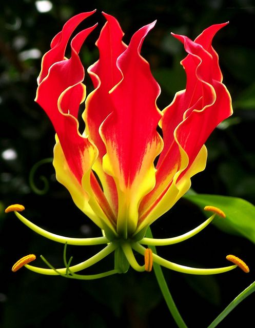 Flowers And Garden Ideas Gloriosa Exotic Tropical Flower