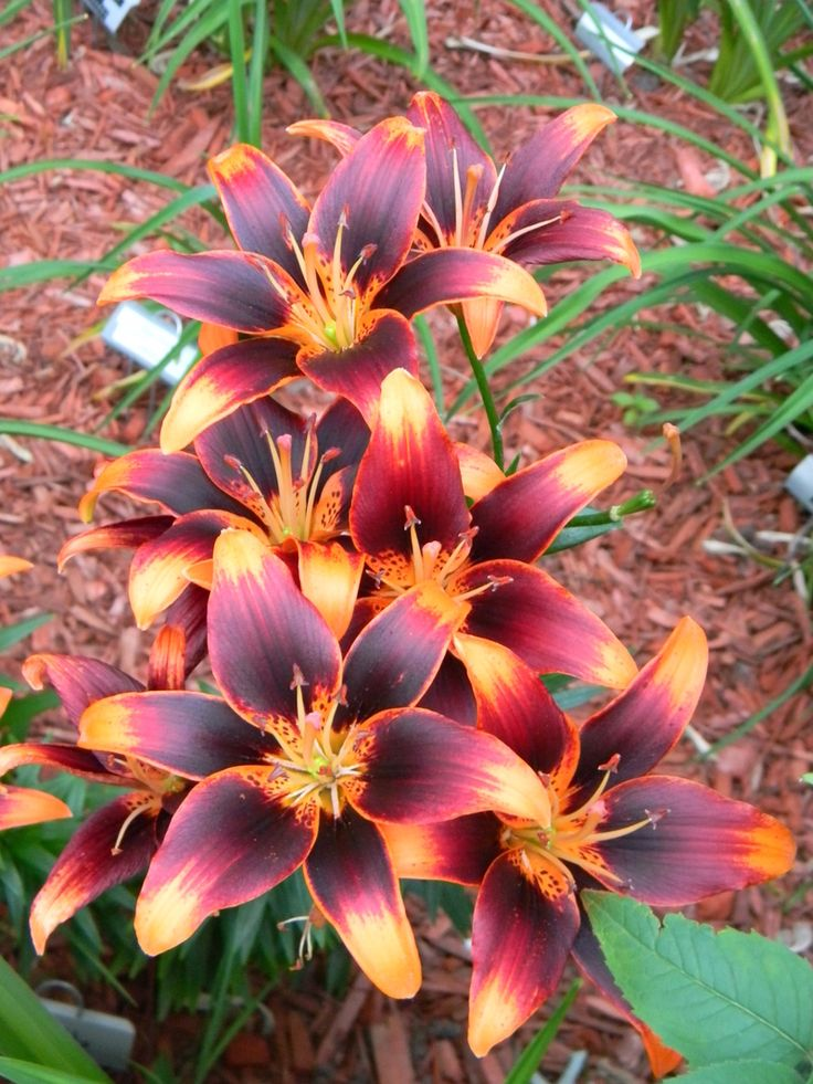 Flowers And Garden Ideas Gorgeous Lily Starlette So Pretty It