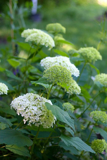 Hydrangea arborescens 'Annabelle' This is a very hardy hydrangea that st...