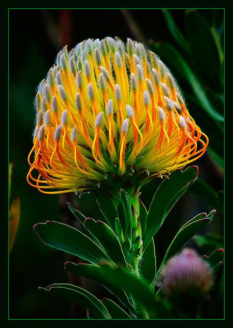 Pincushion Protea