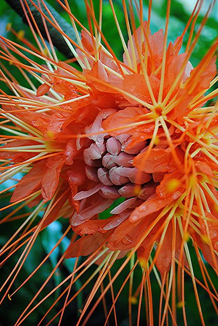 The amazing red orange and gold petals and filaments of a wet Brownea or Handker...
