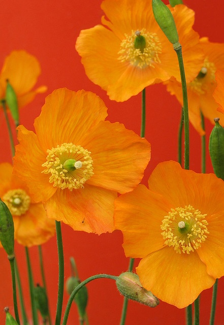 Yellow Poppies ♥