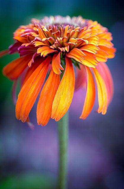 ~~coneflower by alan shapiro photography~~