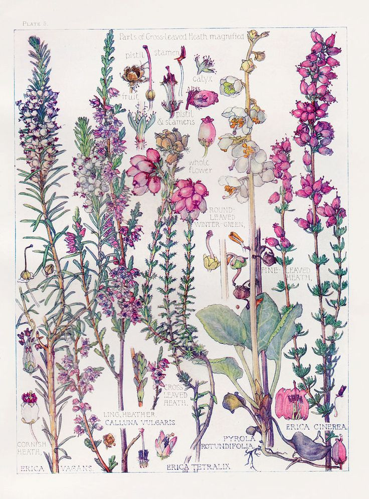 Flowers Drawings   Botanical Print - Heathers - By Isabel Adams -watercolour