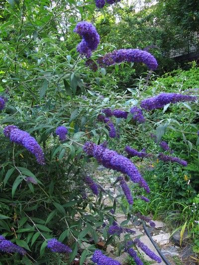 Butterfly Bush Planting: Tips On Caring For Butterfly Bushes - Butterfly bushes ...