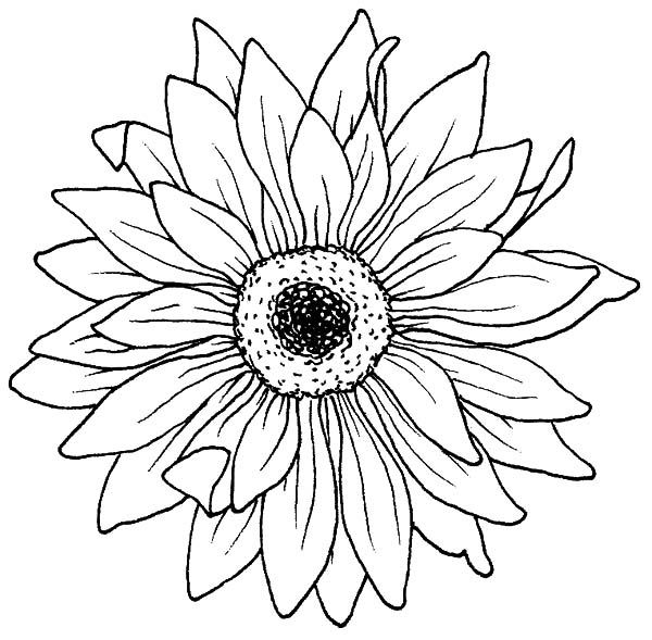 - Flowers Drawings Inspiration : Drawing Blooming Aster Flower Coloring Pages  Bulk Color - Flowers.tn - Leading Flowers Magazine, Daily Beautiful  Flowers For All Occasions
