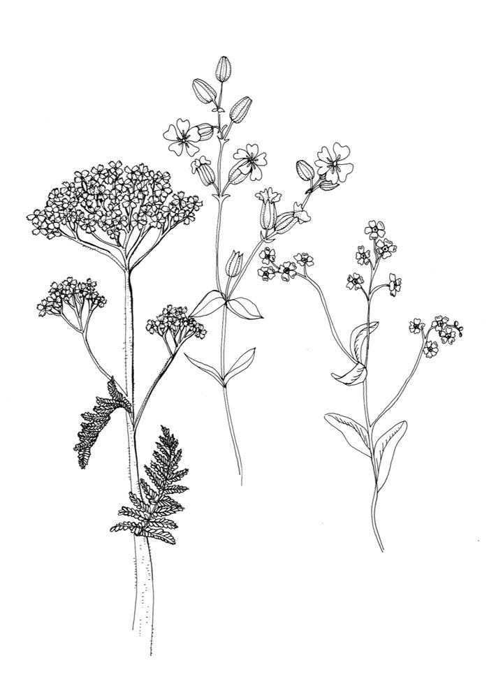 Flowers Drawings  Wild Flowers of January