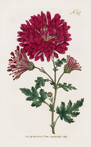 illustration ☘ botanic floral fleur flower type chrysanthème