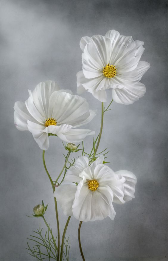 Flowers Drawings White Cosmos Flowers Leading Flowers