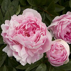 20 gorgeous peonies | 'Lady Orchid' Herbaceous peony | Sunset.com