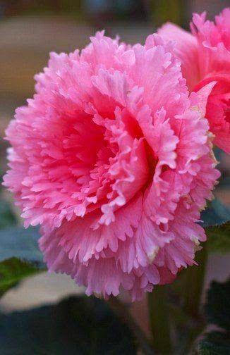 Begonia 'Pink Peony'