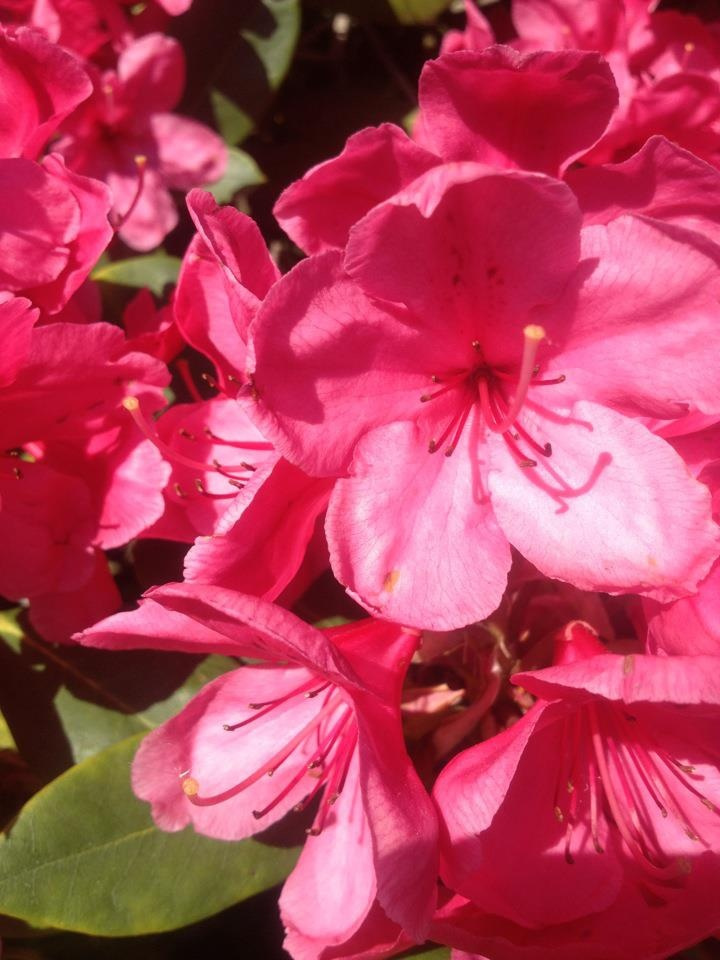Pink flowers deep pink rhododendrons flowers leading deep pink rhododendrons mightylinksfo