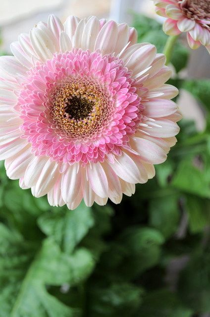 Lollipop Gerber Daisies..these are so gorgeous