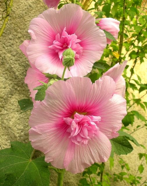 Beautiful pink hibiscus