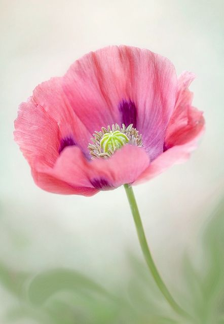 Poppy pop by Mandy Disher Florals