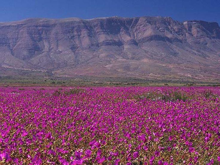Flowering Desert of Atacama. This natural phenomenon occurs in the Atacama Deser...