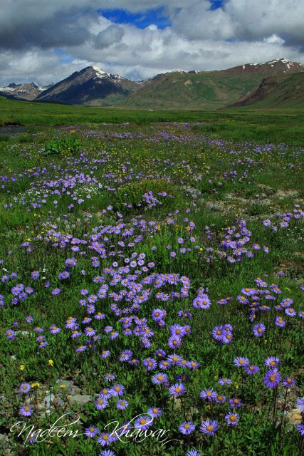 Flowers at Deosai National Park. Northern Pakistan.