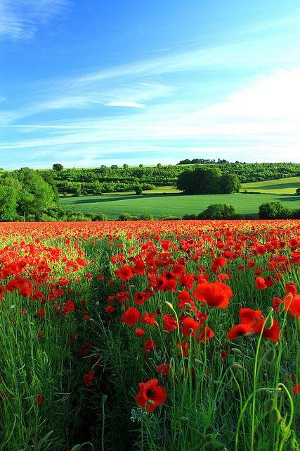 Poppy Field, Gloucestershire, England