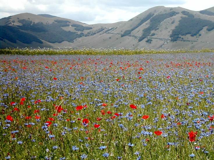 Wildflower meadows - cornflowers and poppies.
