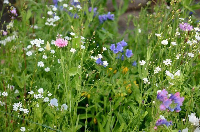 wild, wild grass, flowers, flower, summer, blue, nature