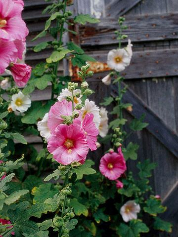 Not enough people plant hollyhocks anymore. They are so lovely and easy to care ...