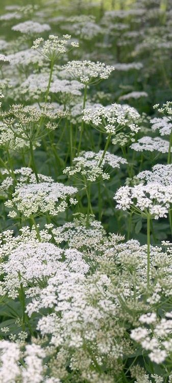 Queen Anne's Lace #Flowers