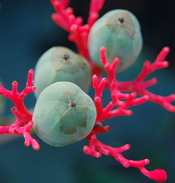 Coral Plant and its turquoise seeds
