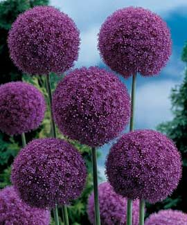 Giant Allium. bulbs. plant in fall.