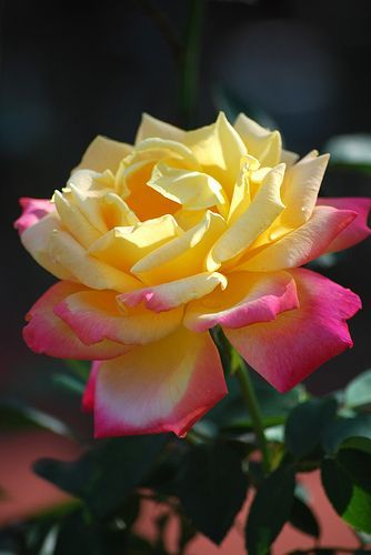 Yellow and Pink mix Rose