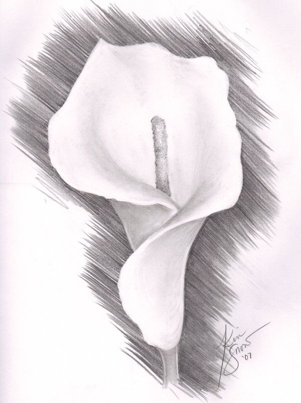 Flowers Drawings Inspiration Lily Flower Drawing Pencil