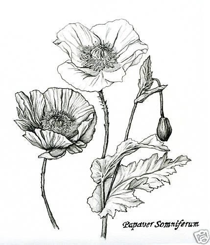 Flowers Drawings Inspiration Pencil Flower Drawings Of Poppy And
