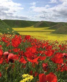 #Poppy & #rapseed #flower fields in #Golestan Province, #IRAN. #ShomalTravel #na...