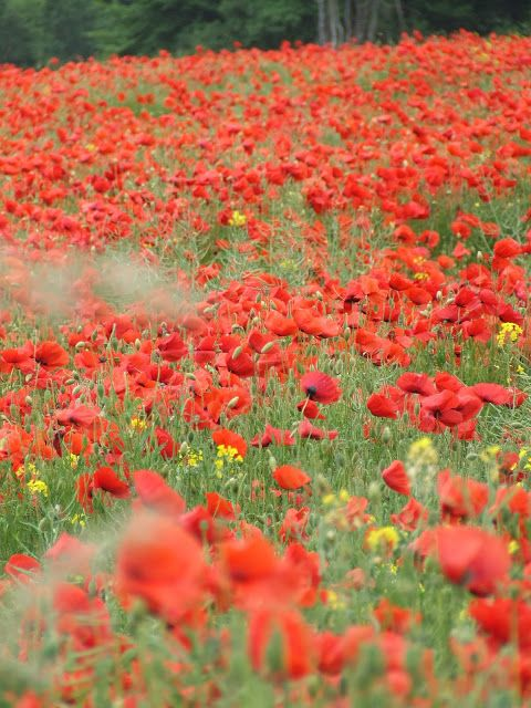 red poppy field in Normandy
