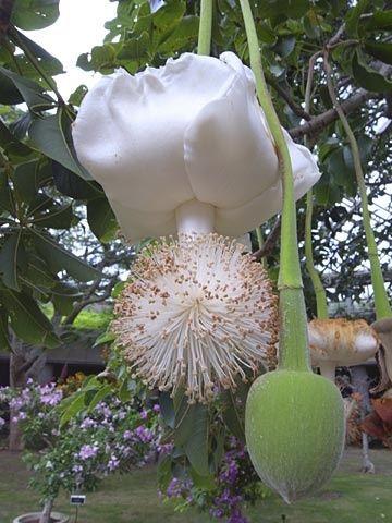 Baobab flower - something we rarely see.