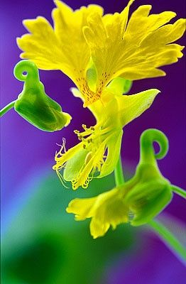 Canary Flower