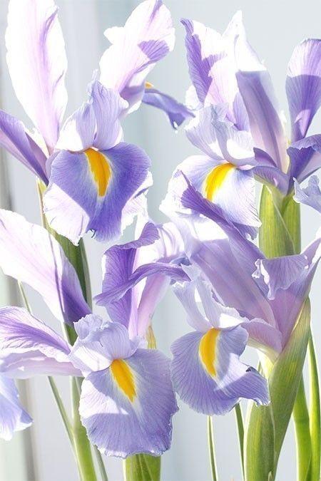 Dutch iris sparkle in the sun