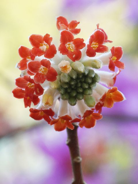 Edgeworthia Chrysantha   PicsVisit