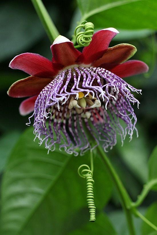 Grenadilla Flower - passiflore