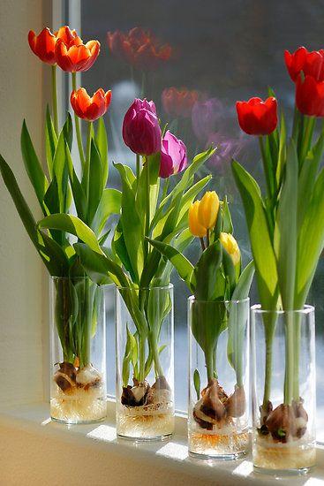 Bulbos de tulipas em vidro, talvez na próxima primavera ... isso seria incríve...