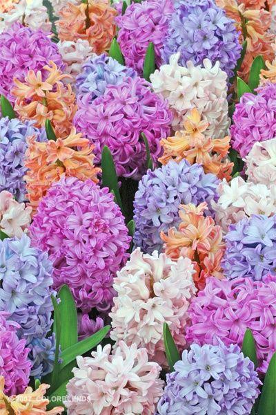 Hyacinth love these