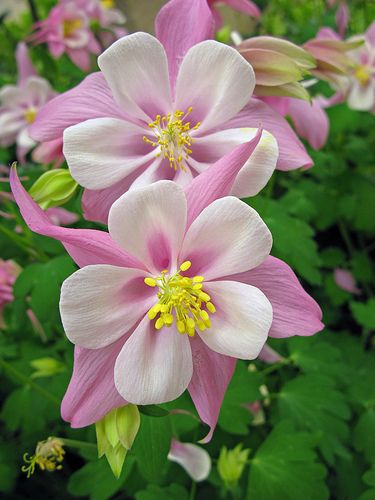 Longwood Gardens Flower #15 - Double Columbine