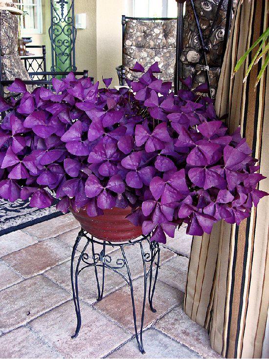 Oxalis purple clover, a beautiful shade plant!