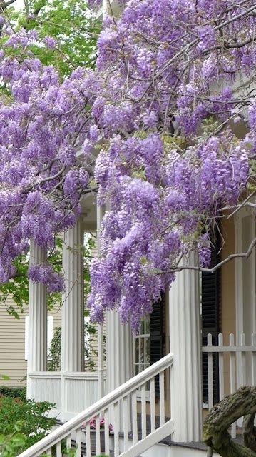 Southern Wisteria.