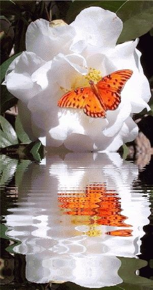 : butterfly on flower reflection