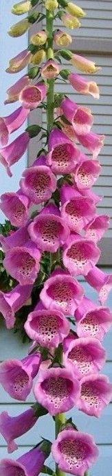 how to grow foxglove - Gorgeous!!