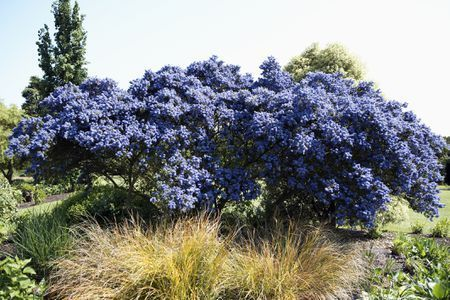 California lilac(Ceanothus Concha) is not very cold-hardy, being suited only t...