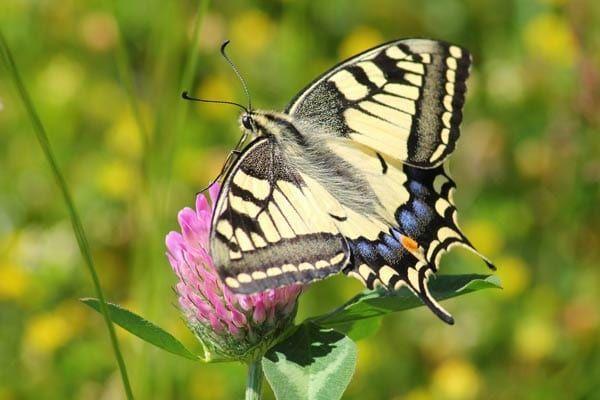 Tiger Swallowtail Caterpillar -Pollinator Friendly Gardening: We know it's i...