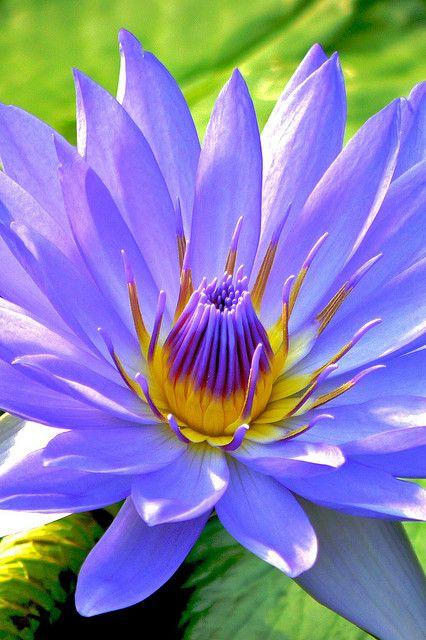 Fresh Blue waterlily