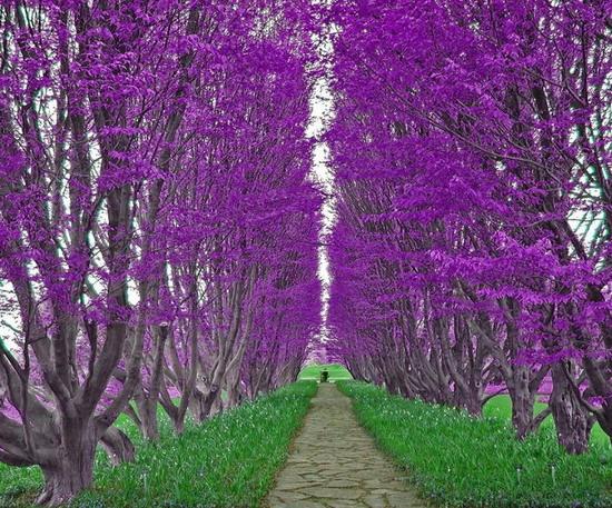 Purple trees, Sydney, Australia